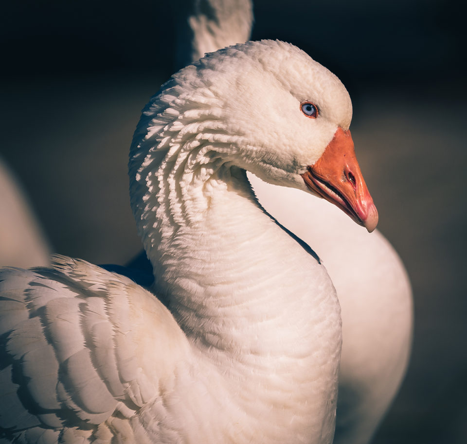 Tasmania Goose