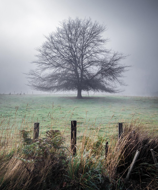 Tasmanian Tree