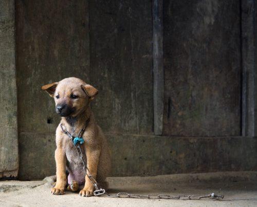 Vietnam Puppy